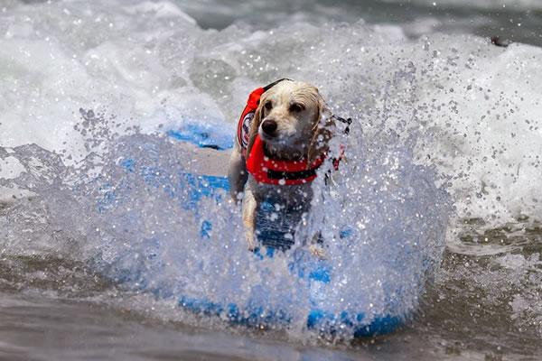 Surf City Surf Dog surfer surfing 28