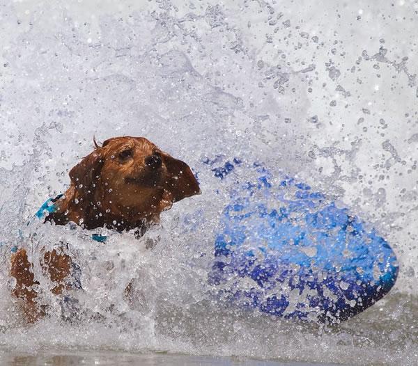 Surf City Surf Dog surfer surfing 30