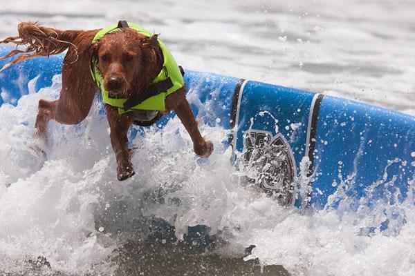 Surf City Surf Dog surfer surfing 7