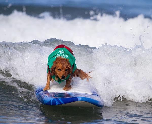 Surf City Surf Dog surfer surfing 9