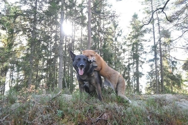 11 fox and hound became best friends - Website Photo Gallery Our 20 Cutest Animal Stories Of 2013
