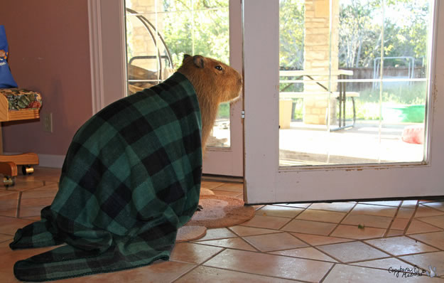 12 capybara dad waited patiently at the door - Website Photo Gallery Our 20 Cutest Animal Stories Of 2013