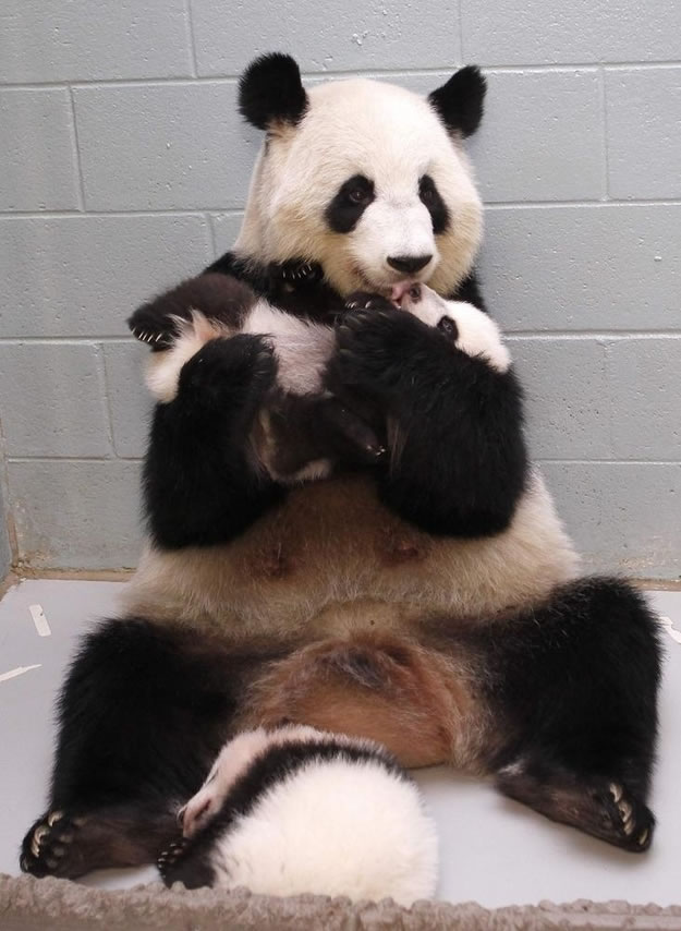 16 panda mom discovered that she was delighted with her baby - Website Photo Gallery Our 20 Cutest Animal Stories Of 2013