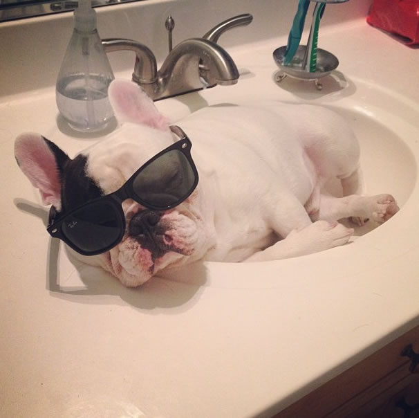 18 talented Frenchie mastered the art of sleeping in sinks - Website Photo Gallery Our 20 Cutest Animal Stories Of 2013