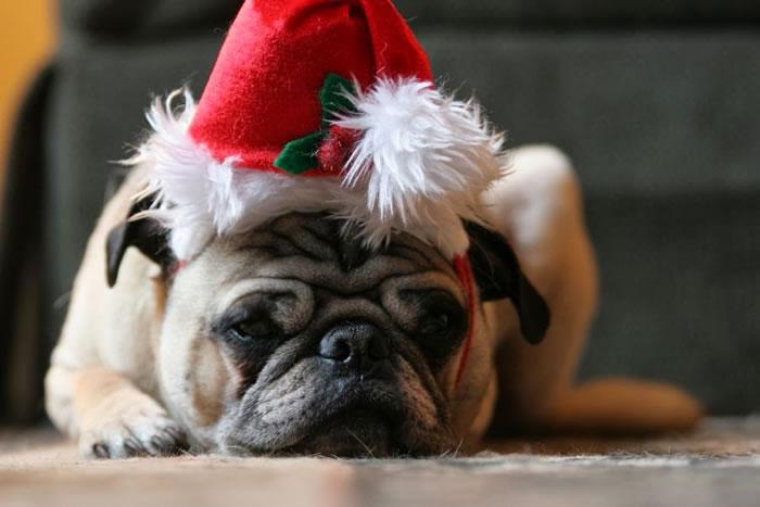 25 Christmas Card Pugs Wish You  A Merry Christmas (1)