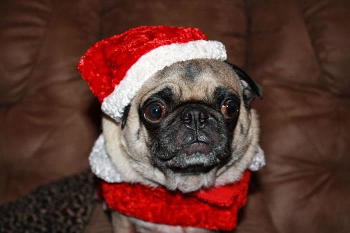25 Christmas Card Pugs Wish You  A Merry Christmas (10)