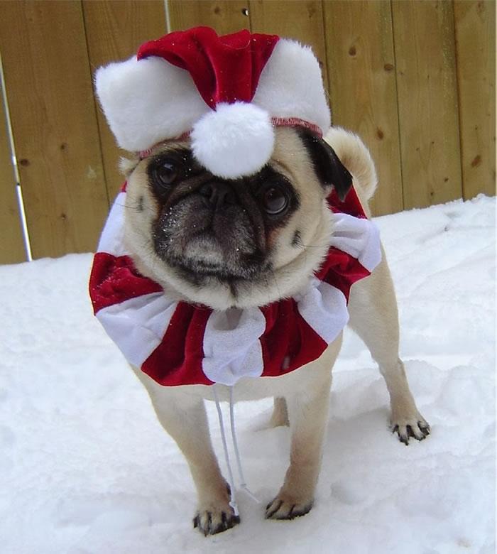 25 Christmas Card Pugs Wish You  A Merry Christmas (11)