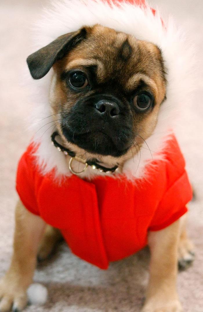 25 Christmas Card Pugs Wish You  A Merry Christmas (12)