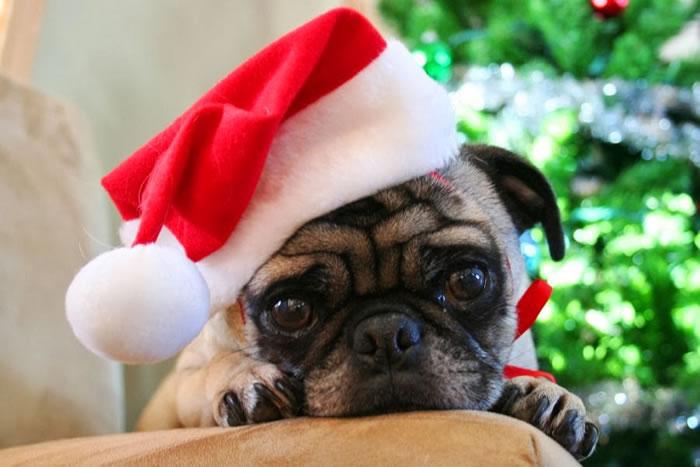25 Christmas Card Pugs Wish You  A Merry Christmas (13)