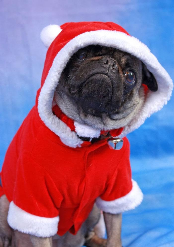 25 Christmas Card Pugs Wish You  A Merry Christmas (15)
