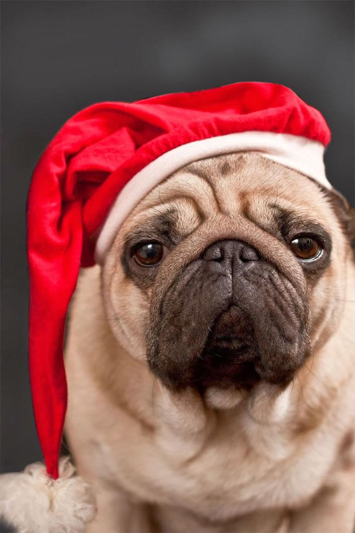 25 Christmas Card Pugs Wish You  A Merry Christmas (16)