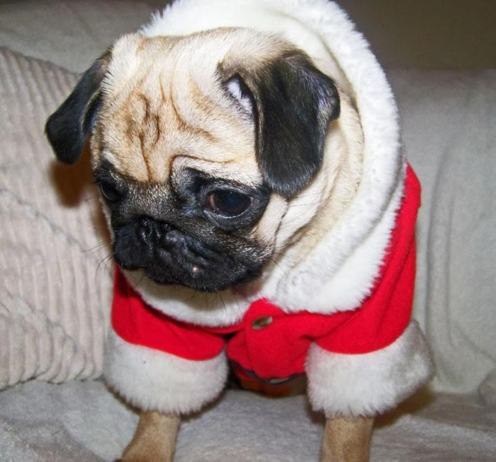 25 Christmas Card Pugs Wish You  A Merry Christmas (18)
