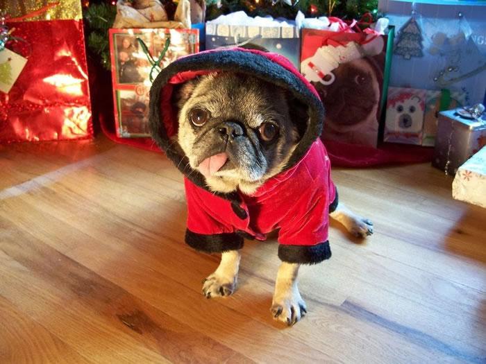 25 Christmas Card Pugs Wish You  A Merry Christmas (2)