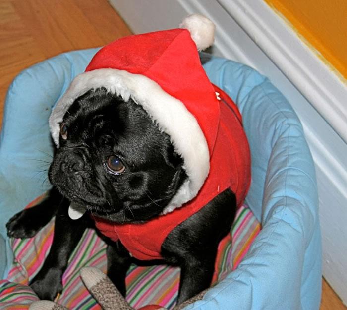 25 Christmas Card Pugs Wish You  A Merry Christmas (20)