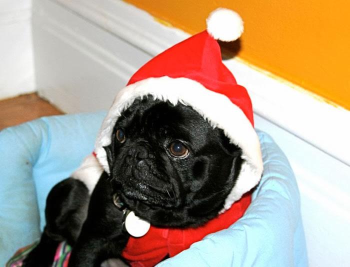 25 Christmas Card Pugs Wish You  A Merry Christmas (21)