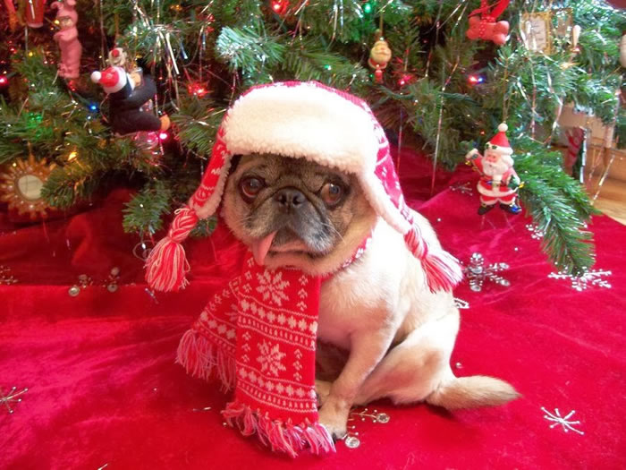 25 Christmas Card Pugs Wish You  A Merry Christmas (22)