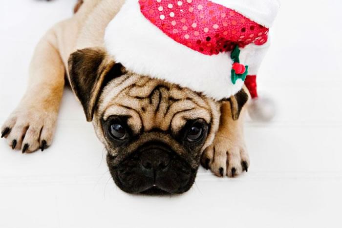 25 Christmas Card Pugs Wish You  A Merry Christmas (24)