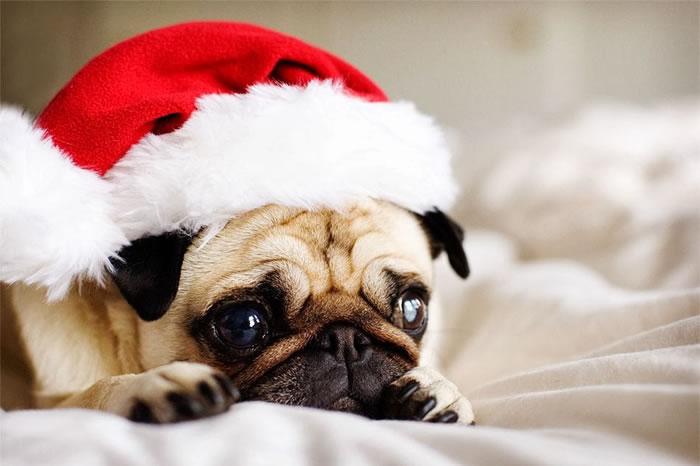 25 Christmas Card Pugs Wish You  A Merry Christmas (25)