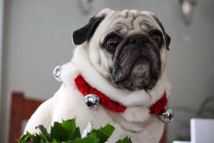 25 Christmas Card Pugs Wish You  A Merry Christmas (3)