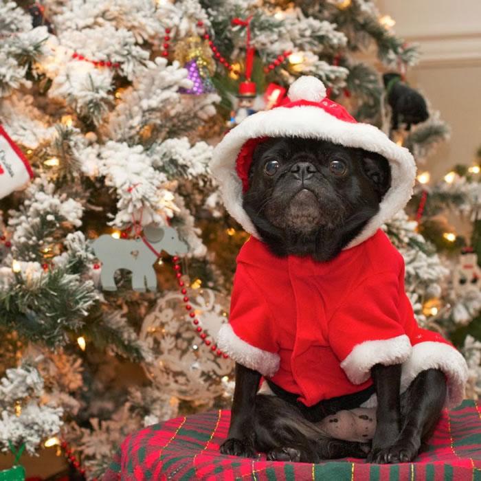 25 Christmas Card Pugs Wish You  A Merry Christmas (4)