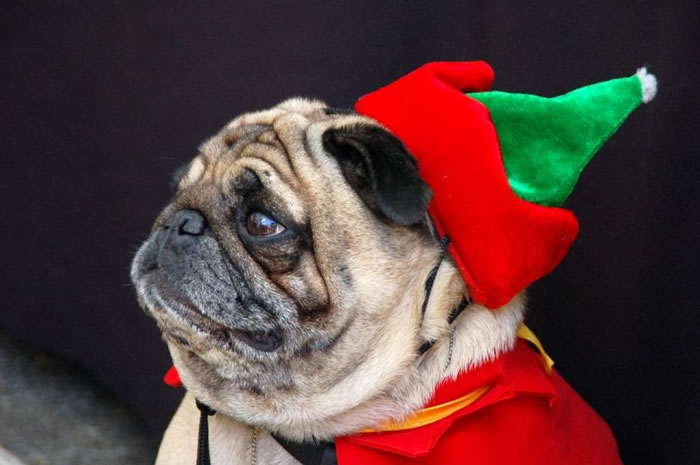 25 Christmas Card Pugs Wish You  A Merry Christmas (5)