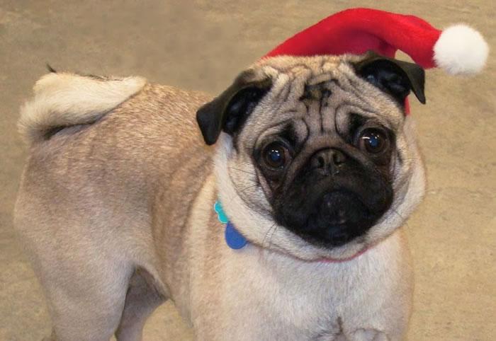25 Christmas Card Pugs Wish You  A Merry Christmas (6)
