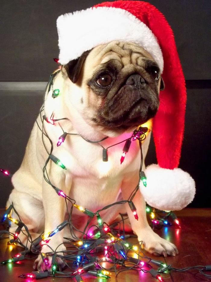 25 Christmas Card Pugs Wish You  A Merry Christmas (7)