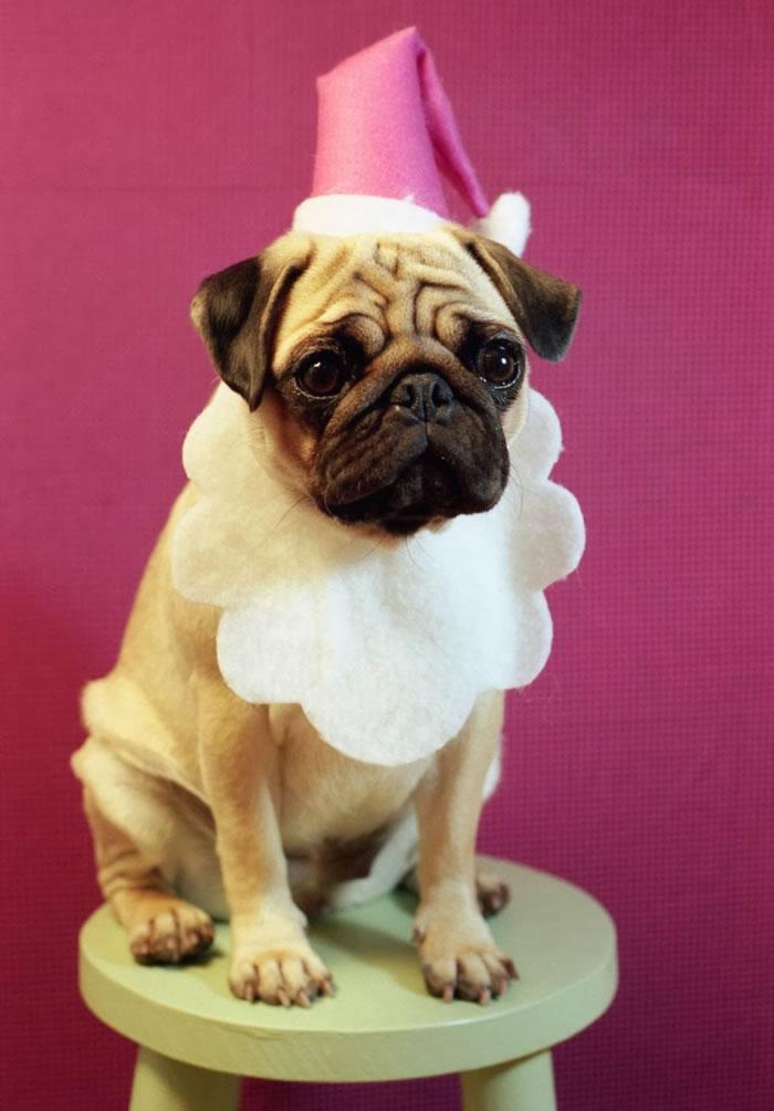 25 Christmas Card Pugs Wish You  A Merry Christmas (8)