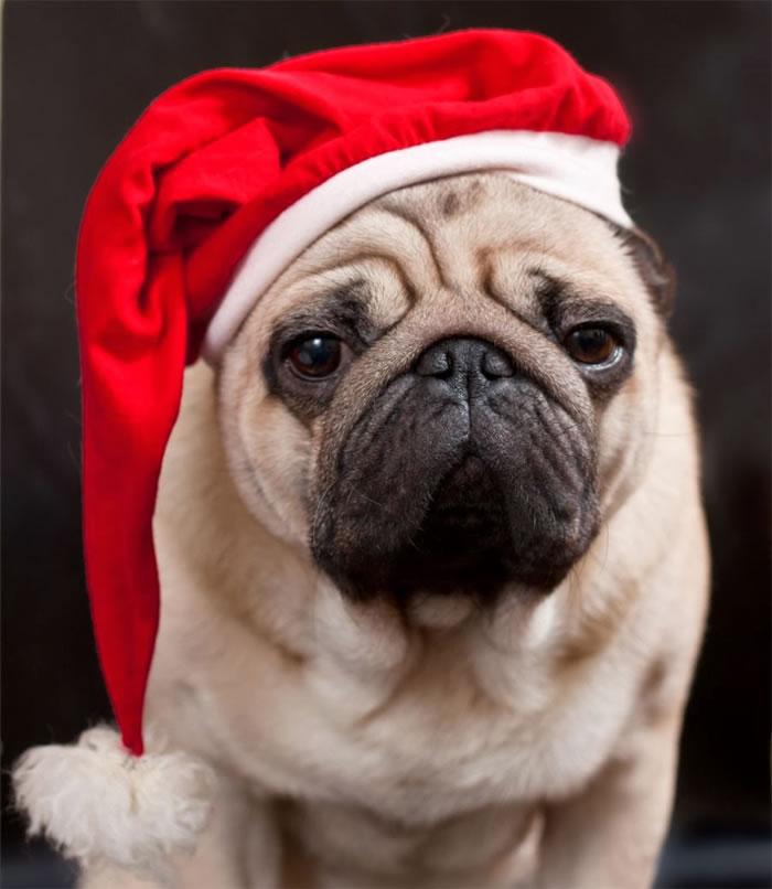 25 Christmas Card Pugs Wish You  A Merry Christmas (9)