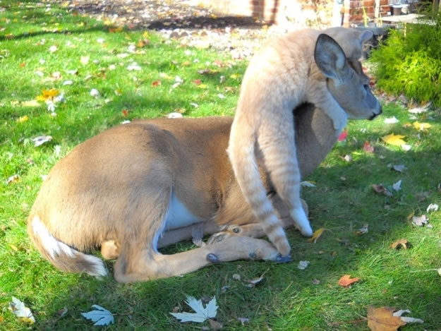 3 a deer and cat become best friends - Website Photo Gallery Our 20 Cutest Animal Stories Of 2013