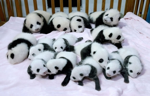 4 a bunch of panda babies into a crib - Website Photo Gallery Our 20 Cutest Animal Stories Of 2013