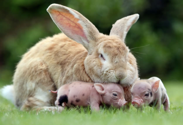 5 rabbit adopted some baby pigs - Website Photo Gallery Our 20 Cutest Animal Stories Of 2013
