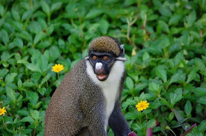5. Shocked Guenon