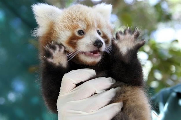 Hi Res Photos Of Cute Little Red Pandas Don T You Just