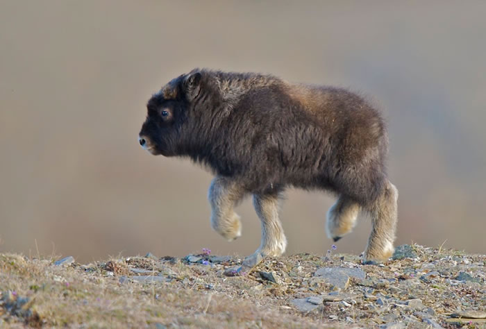 LOOK AT THIS BABY MUSK OX