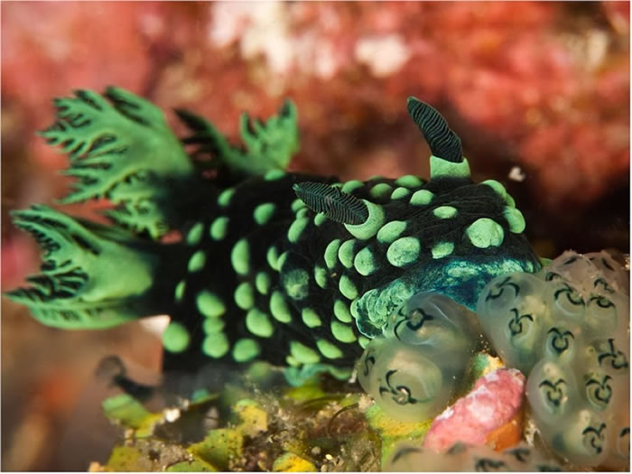 Nudibranchs on the Island of Negros