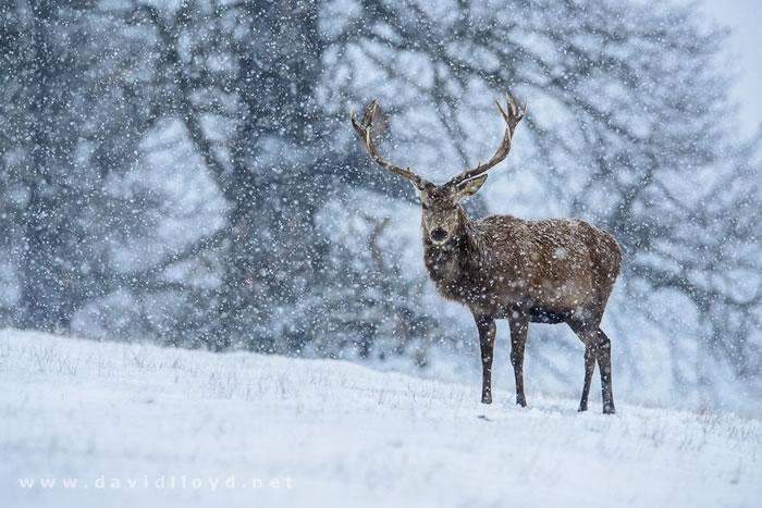 22. Red Deer & Snowfall