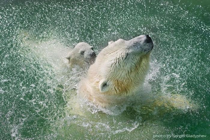 Cute Polar Bear Family Stock Photos By Sergei Gladyshev 2
