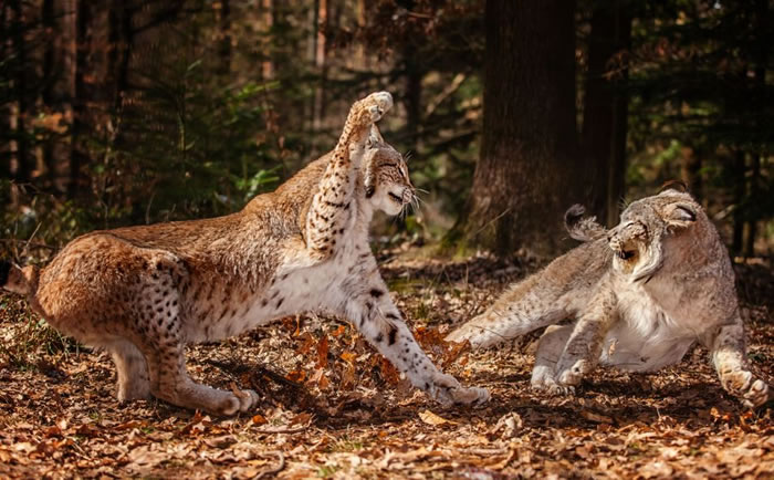Amazing Extreme Nature Top 50 Awesome Animal Attacks Stock Photos Ever  (1)