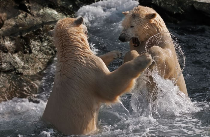 Amazing Extreme Nature Top 50 Awesome Animal Attacks Stock Photos Ever  (10)