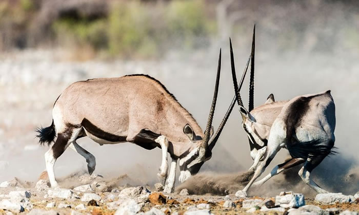 Amazing Extreme Nature Top 50 Awesome Animal Attacks Stock Photos Ever  (11)