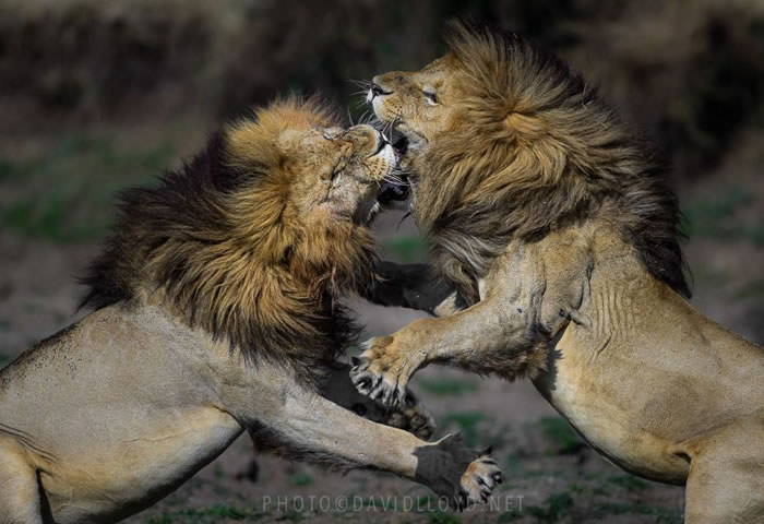 Amazing Extreme Nature Top 50 Awesome Animal Attacks Stock Photos Ever  (12)