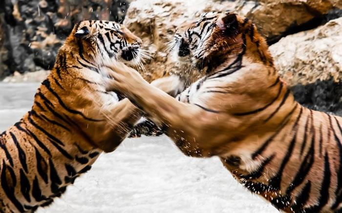 Amazing Extreme Nature Top 50 Awesome Animal Attacks Stock Photos Ever  (13)