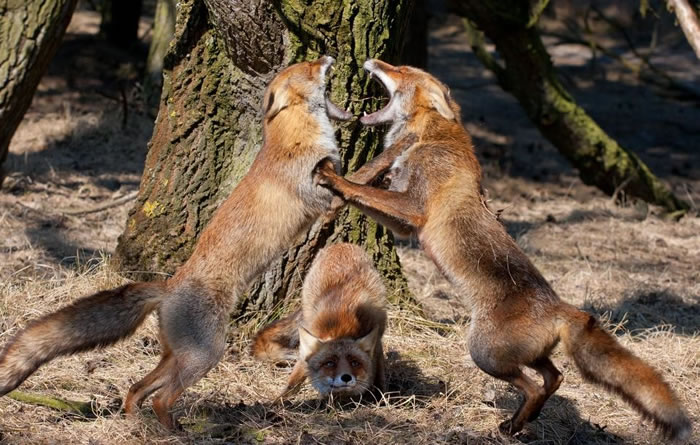 Amazing Extreme Nature Top 50 Awesome Animal Attacks Stock Photos Ever  (14)