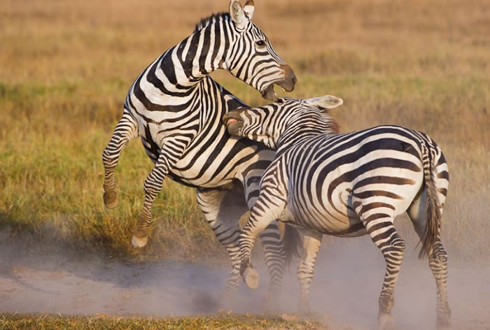 Amazing Extreme Nature Top 50 Awesome Animal Attacks Stock Photos Ever  (15)