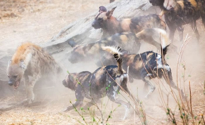 Amazing Extreme Nature Top 50 Awesome Animal Attacks Stock Photos Ever  (16)