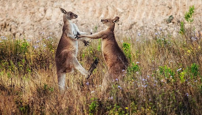 Amazing Extreme Nature Top 50 Awesome Animal Attacks Stock Photos Ever  (24)