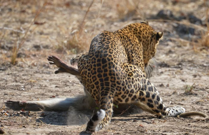 Amazing Extreme Nature Top 50 Awesome Animal Attacks Stock Photos Ever  (4)