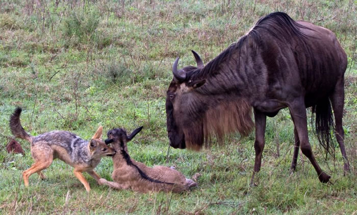 Amazing Extreme Nature Top 50 Awesome Animal Attacks Stock Photos Ever  (6)