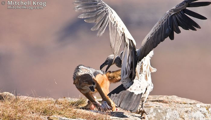 Amazing Extreme Nature Top 50 Awesome Animal Attacks Stock Photos Ever  (7)